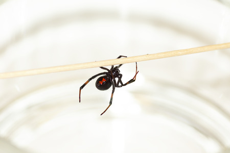 web crawler: Deadly female black widow spider, Latrodectus mactans, with red hourglass shape underneath her abdomen.