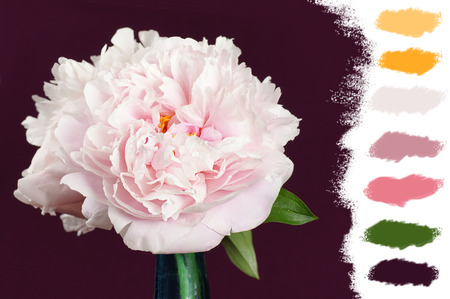 vase color: Beautiful pale pink peony flowers in a blue cristal vase , color palette Stock Photo