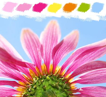 echinacea purpurea: Sotto un coneflower, Echinacea purpurea, la tavolozza dei colori