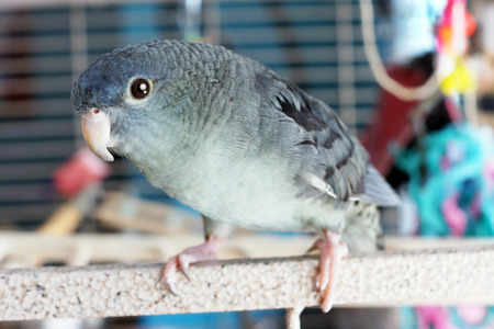 psittacidae: Lineolated or barred parakeet, mauve color, coming out of its cage