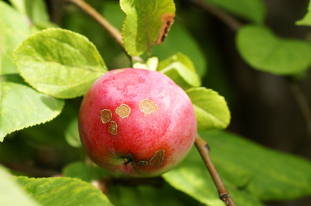 peal: Agriculture concept: apple scab disease, caused by the fongus Venturia inaequalis