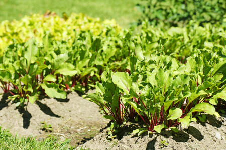 self sufficient: Growing radish in the garden, lettuce in the background Stock Photo