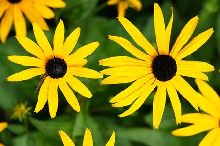 hirta: Fun floral background: yellow daisies or black-eyed Susan, Rudbeckia hirta