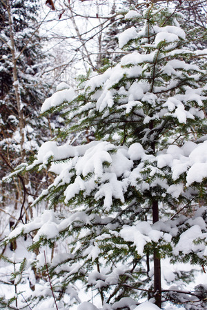 balsam: Tree covered in snow, vertical of winter forest