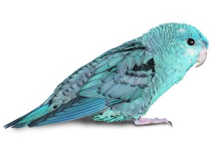 psittacidae: Female lineolated parakeet, Bolborhyncus lineola, blue form, isolated