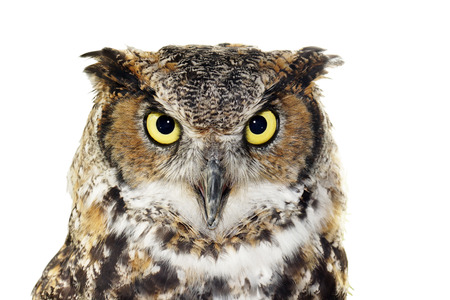 Close up portrait of Great horned owl, Bubo virginianus, looking at camera, isolated on white