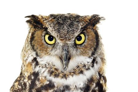 aves: Cerca de retrato de gran b�ho cornudo, Bubo virginianus, mirando a c�mara, aislado en blanco