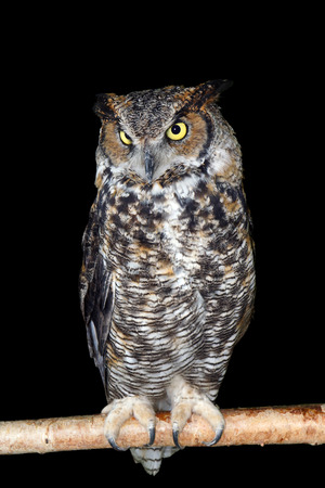 Great horned owl perched on branch over black, full body photo