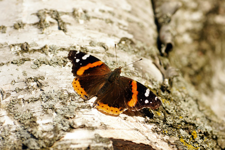 gracious: Red admiral butterfly, Vanessa atalanta, on white bark of a paper birch tree