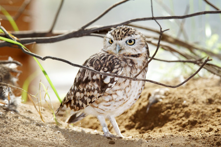 Cute endangered burrowing owl, Athene cunicularia, with ID ring photo