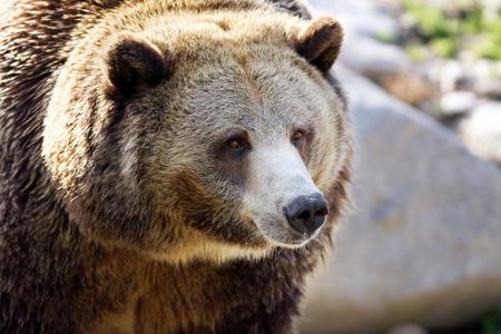 ursus: Portrait of a big grizzly brown bear, Ursus arctos horribilis