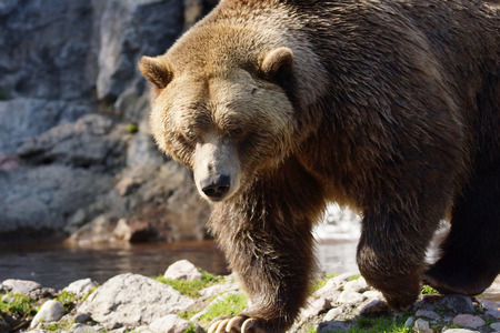 grizzly: Big grizzly brown bear walking, Ursus arctos horribilis