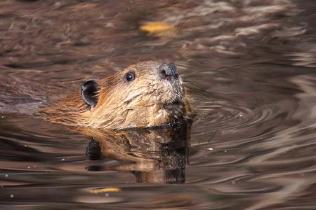 castor: Castor balnearia, Castor canadensis, en el agua del lago turbio a buscar la c�mara