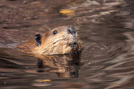 beaver: Swimming beaver, Castor canadensis, in murky lake water looking up at camera Stock Photo