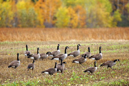canada goose: Canada geese, Branta canadensis, in an agricultural field during fall south migration