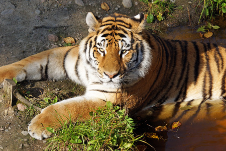 Siberian or Amur tiger keeping cool half in a pond photo