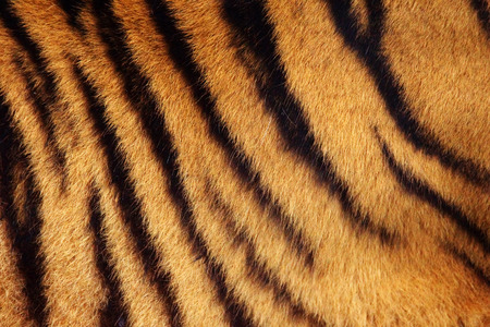 Siberian or Amur tiger stripped fur from the side background Stockfoto