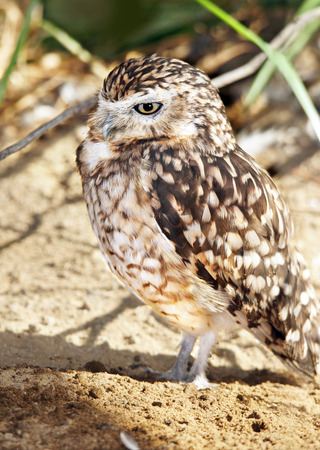 burrow: Vertical portrait of a burrowing owl, Athene cunicularia, near its burrow