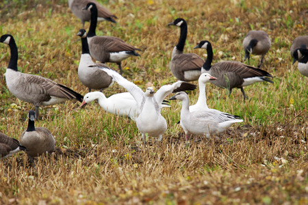 Snow geese gosling, Chen caerulescens, stretching its wings in field during fall migration. photo