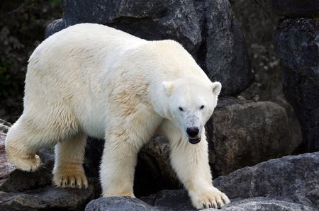 polar climate: Wet polar bear, Ursus maritimus, on rocks, full body looking at camera Stock Photo