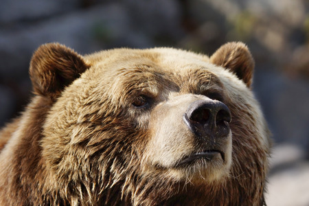 Closeup portrait of a curious grizzly brown bear sniffing the air Stock Photo