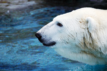 wet bear: Big wet male polar bear, Ursus maritimus, profile