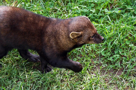 fisher: Rare forest mammal the fisher, Martes pennanti, walking Stock Photo