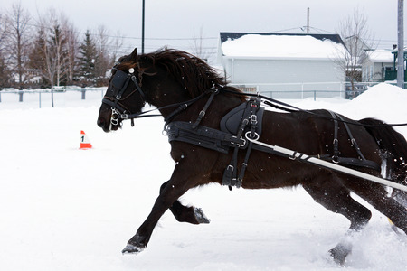 horse sleigh: Canadian horse pulling sleigh in winter