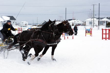 horse sleigh: QUEBEC, CANADA-JANUARY, 22: Canadian horse pulling sleigh in winter obstacle cone driving on January, 2015. That breed is a strong, muscled light horse, generally used for riding and driving Editorial