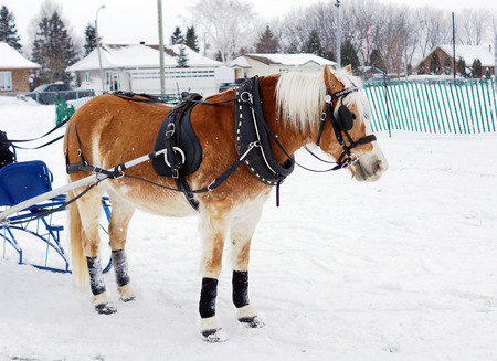 horse sleigh: Haflinger horse pulling sleigh for winter obstacle cone driving