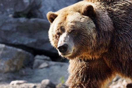 grizzly: Big grizzly brown bear looking at camera, Ursus arctos horribilis Stock Photo