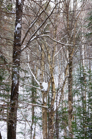 boreal: Thick boreal forest and tall trees during winter, Northern Quebec, Canada Stock Photo