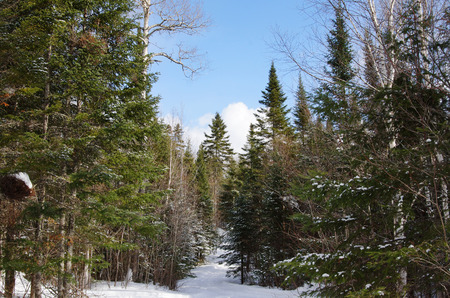 boreal: Beautiful winter boreal forest landscape with spruce and birch trees Stock Photo