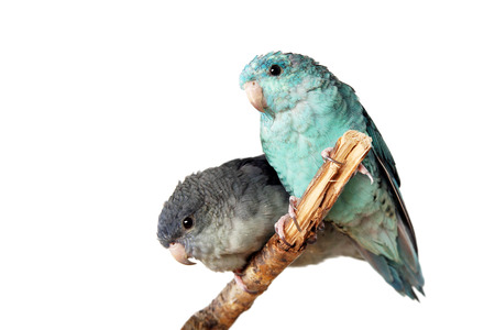 psittacidae: Lineolated parakeet couple, blue and mauve, on branch isolated Stock Photo