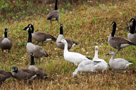 Canadian and Snow geese with gooslings in agricultural field during fall migration. photo