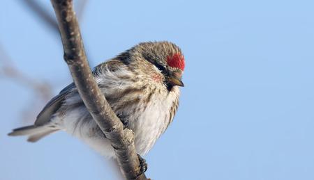 fluffy tuft: Female common redpoll bird, Carduelis flammea, on a branch against blue sky