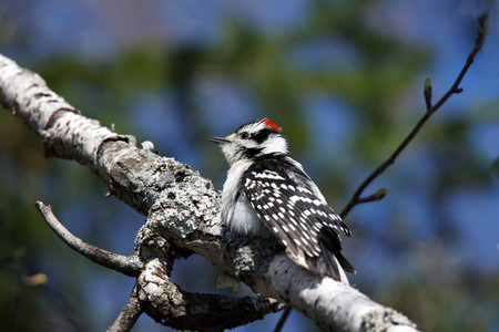 hairy male: Male Hairy woodpecker, Picoides pubescens grooming in the sun