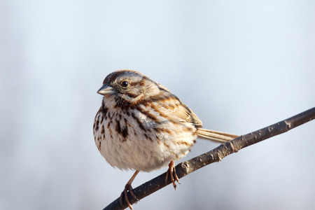 Song sparrow, Melospiza melodia, on branch