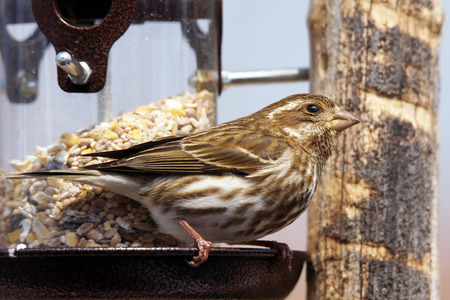 Female Purple finch, Carpodacus purpureus, at bird feeder
