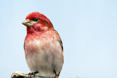 pink skies: Male Purple finch, Carpodacus purpureus, on branch