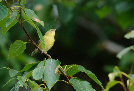 warbler: Cute perched yellow warbler amongst green leaves