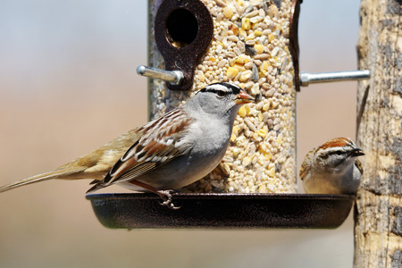 White-crowned sparrow, Zonotrichia leucophrys and chipping sparrow, Spizella passerina, sharing a bird feeder Stock fotó - 45840953