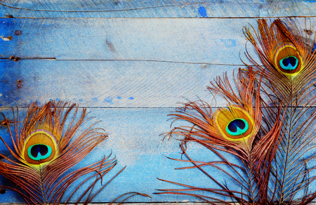 Three male peacock feathers on grungy blue wood background