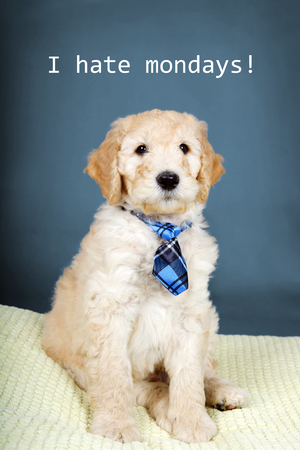 poodle mix: Cute goldendoodle puppy with plaid tie Stock Photo