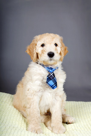 Cute goldendoodle puppy with plaid tie Stock fotó