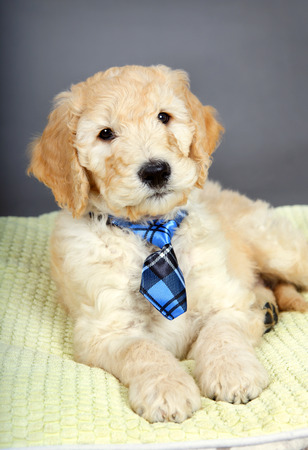 cross ties: Cute goldendoodle puppy with plaid tie Stock Photo