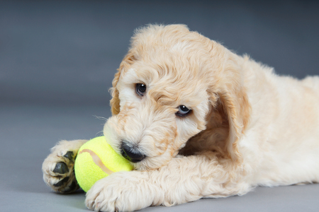 poodle mix: Cute goldendoodle puppy with tennis ball