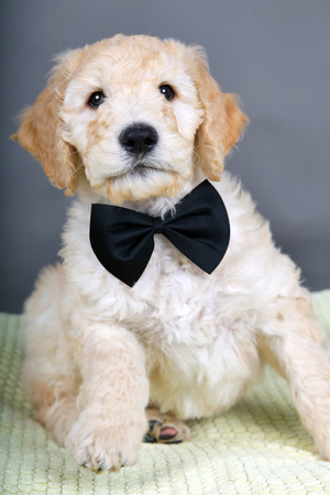 cross ties: Goldendoodle puppy with black bow tie Stock Photo