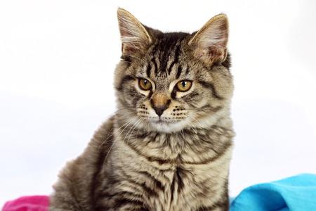 pink pussy: Cute grey tabby kitten