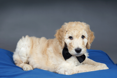 poodle mix: Goldendoodle puppy with black bow tie on blue and grey Stock Photo